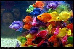 Aquarium Fish And Flower Horns Fish Exporter Ornamental Fish From