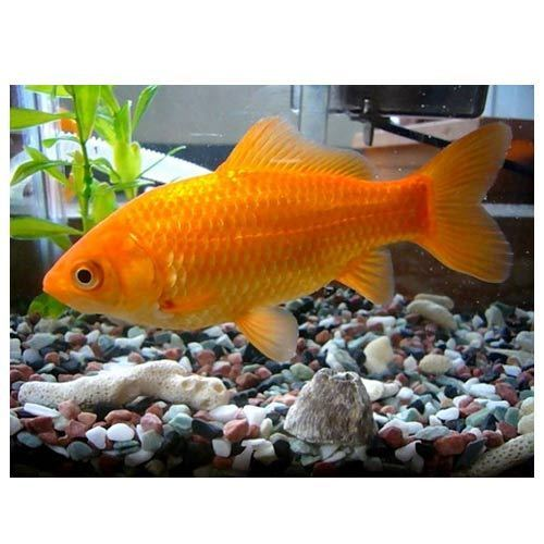Gold Fish Common Goldfish Fish Wholesaler From Jaipur